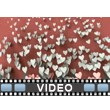 Valentine Hearts Rising PowerPoint Video Background
