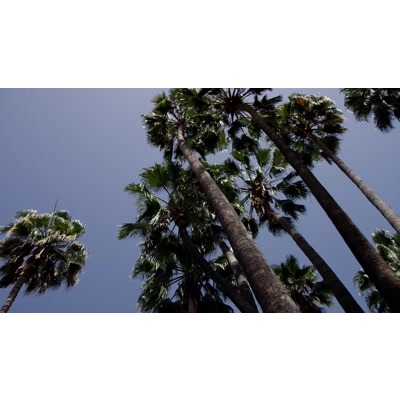 ID# 24052 - Palm Trees - Video Background